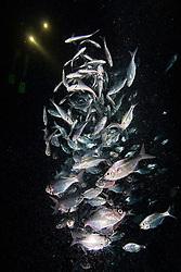 Hawaiian Flagtail or Aholehole in Hawaiian, Kuhlia sandvicensis, feeding on plankton at night, endemic species to Hawaii, and highly prized as food in Hawaii, off Kona Coast, Big Island, Hawaii, Pacific Ocean