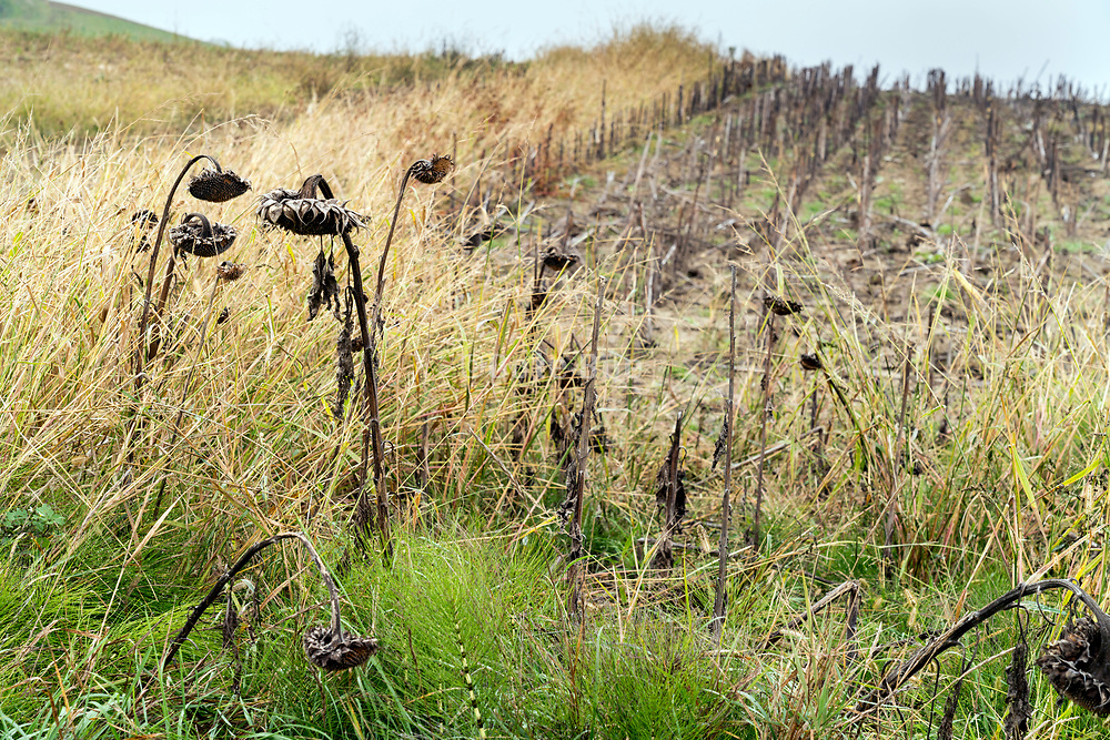 ripe brown sunflowers left behind after mechanical harvesting France