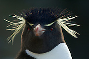 Der Felsenpinguin (Eudyptes chrysocome) ähnelt den anderen Schopfpinguinarten, ist aber an seinen leuchtend roten Augen und der nur dünnen, an der Stirn nicht zusammenlaufenden Augenbrauen-Linie zu erkennen.| The rockhopper penguin (Eudyptes chrysocome) can - at the first glance - be confused with the other species of crested penguins, but the only thin, light yellow supercilium (eyebrow) which does not fuse on the forehead, and the bright red eyes are distinctive.