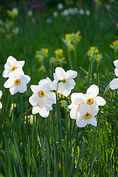 Narcissus 'Actaea' growing in the grass at The Old Rectory with Primula veris - cowslips - in the background. Design: Mary Keen