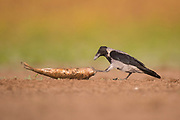 Hooded Crow (Corvus cornix) Photographed in Israel in October