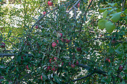 Apple tree with ripe red apples on the roadside
