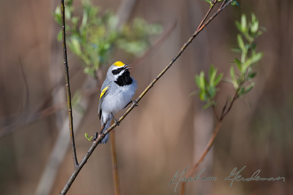 A Golden-winged Warbler singing for a mate.