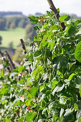 Runner beans on sturdy frames in the vegetable garden at Chatsworth House