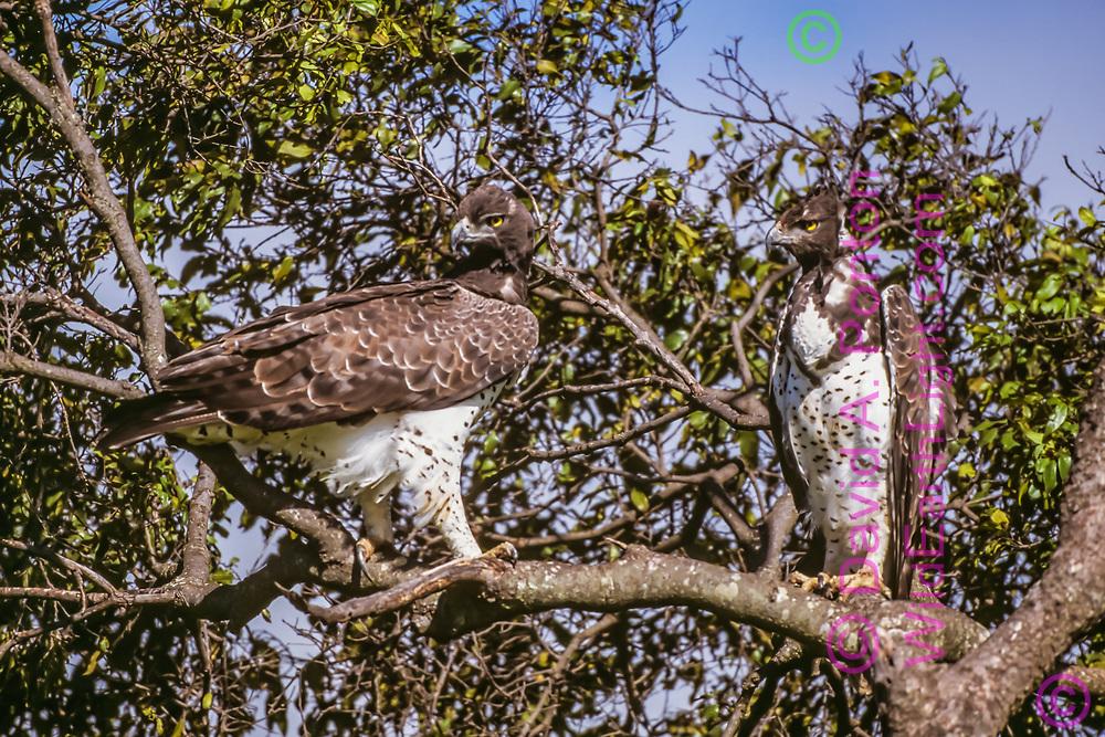 A pair of martial eagles in a tree looking intently, Maasai Mara National Reserve, Kenya, © David A. Ponton