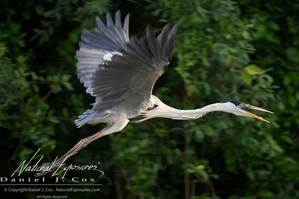 Cocoi Heron, Pantanal Brazil