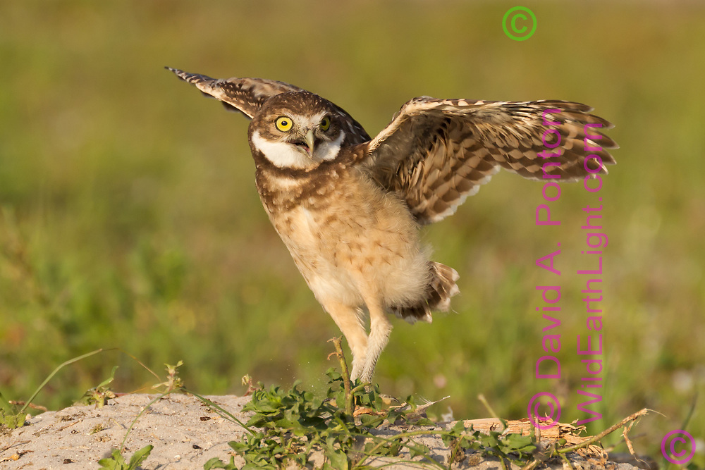 Juvenile burrowing owl tries its wings while standing on the mound next to its burrow, © David A. Ponton