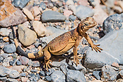 A juvenile chuckwalla (or chuckawalla): Sauromalus ater is a species of lizard in the family Iguanidae. Fall Canyon, Death Valley National Park, California, USA.