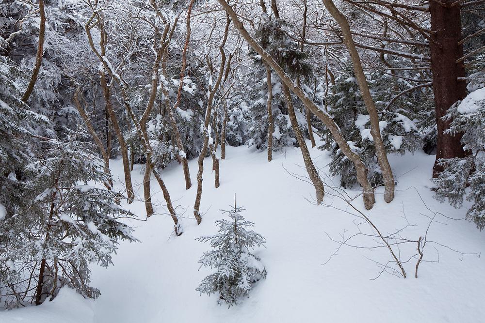 Winter snowfall in highland beech gap, Roan Highlands