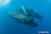 pod of longfin pilot whales, Globicephala melas, with newborn calf, still showing fetal folds, at upper right, Straits of Gibraltar ( North Atlantic )