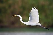 Great White Heron, Ardea or Egretta alba, Bi Tan Bay, Taiwan