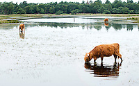 SOMEREN - Een grote grazer maakt  tijdens de warmte gebruik van plan  'Antiverdroging Strabrechtse Heide' . Hierbij wordt minder water afgevoerd op de verdroging tegen te gaab. Dit is een project van Waterschap De Dommel. Het waterschap streeft in de Natte Natuurparel naar een optimale (grond)waterstand om zo de verdroging in het gebied tegen te gaan. ANP COPYRIGHT KOEN SUYK