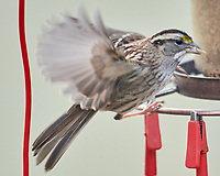 White-throated Sparrow (Zonotrichia albicollis). Image taken with a Nikon D850 camera and 600 mm f/4 VR lens.