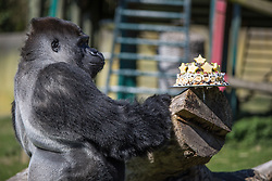 @Licensed to London News Pictures 14/04/2015.Port Lympne, near Ashford, Kent. Ambam eating his 25th birthday cake. AmBam, a male Western Lowland Gorilla, celebrates his 25th birthday at Port Lympne Animal Reserve in Kent today (14/04/15). Ambam became an online sensation last year when he was filmed walking like a human. Photo credit: Manu Palomeque/LNP