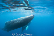 humpback whale, Megaptera novaeangliae, female (swimming upside down) with calf, A'u A'u Channel, off West Maui, Hawaii, Hawaii Humpback Whale National Marine Sanctuary, USA ( Central Pacific Ocean )