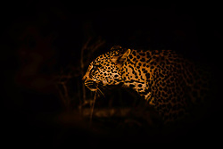 Night Leopard.  I found this leopard on the prowl in Sabi Sands Game Refuge in South Africa