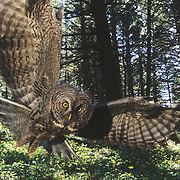 Great gray owl (Strix nebulosa) adult hunting in a forest for prey during the spring in Montana.