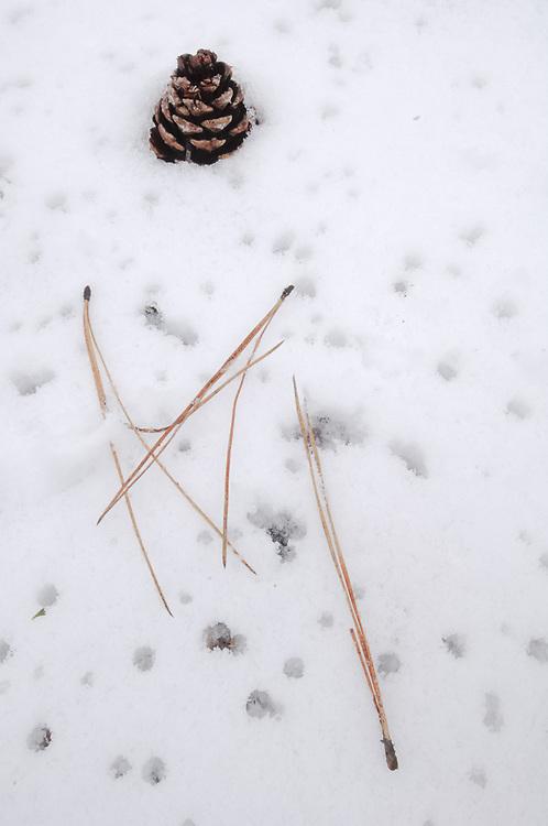 Ponderosa pine cone and needles (Pinus ponderosa),  April, eastern Cascade Mountain Range, LaPine State Park near Bend, Oregon