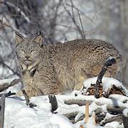 Canada Lynx, (Lynx canadensis) Adult Rocky mountains. Montana. Winter. Captive Animal.