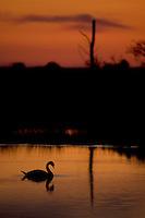 Mute Swan (Cygnus olor) adult silhouetted on lake at sunset, Oostvaardersplassen, Netherlands. Mission: Oostervaardersplassen, Netherlands, June 2009.