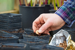 Sowing broad beans into individual pots in a greenhouse