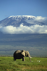 Jan. 06, 2009 - AFRICAN ELEPHANT. Loxodonta africana. Mount Kilimanjaro in background. Amboseli National Park. Kenya. (Credit Image: © Daryl Balfour/Evolve/Photoshot/ZUMAPRESS.com)