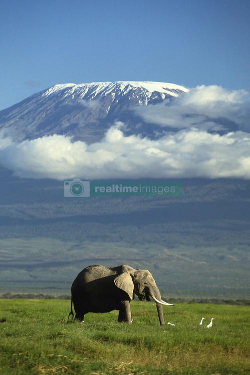 Jan. 06, 2009 - AFRICAN ELEPHANT. Loxodonta africana. Mount Kilimanjaro in background. Amboseli National Park. Kenya. (Credit Image: © Daryl Balfour/Evolve/Photoshot/ZUMAPRESS.com)
