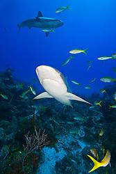 Caribbean Reef Sharks, Carcharhinus perezi, and yellowtail snappers, Ocyurus chrysurus, swimming over coral reef ledges, West End, Grand Bahama, Atlantic Ocean.