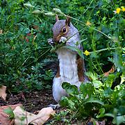 London, UK. 27 June 2019. UK Weather - squirrel at the Hottest week in June 2019 at St James park, London, UK