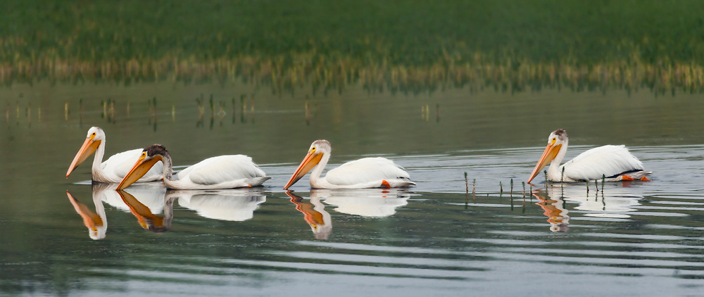 American white pelican family group swims together on a pool along the Yellowstone River, nicely reflected, Yellowstone National Park, WY, © David A. Ponton