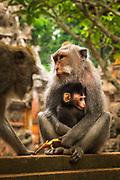 Balinese long-tailed Monkey (Macaca fascicularis), Sacred Monkey Forest, Ubud, Bali, Indonesia