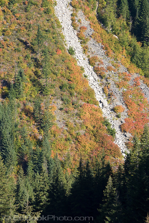 avalanche chute autumn color Stevens Canyon Mount Rainier NP WA USA   Heavy snowfalls of winter build up on steep slopes above Stevens Canyon and often break loose to cascace down avalanche chutes into the canyon.