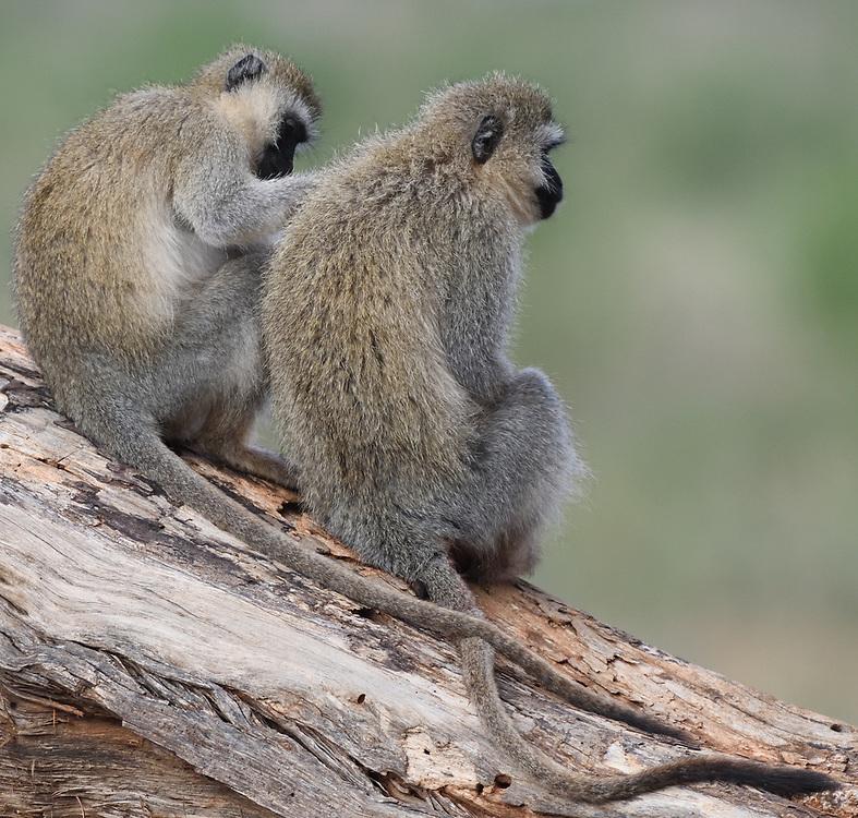 Vervet monkeys (Chlorocebus pygerythrus) grooming. Tarangire National Park, Tanzania.