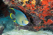 blue angelfish , Holacanthus bermudensis<br /> Biscayne National Park, <br /> Homestead, Florida ( near Miami )<br /> ( Western Atlantic Ocean )
