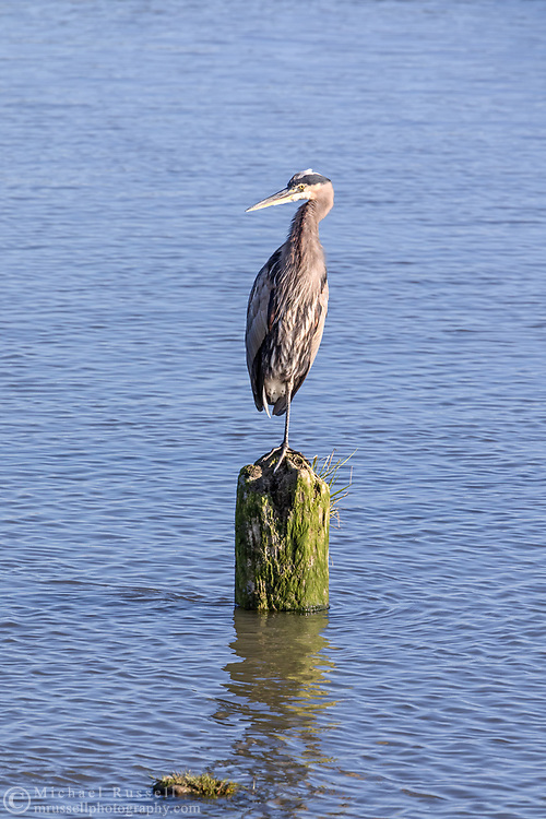 A Great Blue Heron (Arda herodais) perched on an old piling in the Fraser River.  Photographed next to the No. 3 Road Sports Fishing Pier in Richmond, British Columbia, Canada.