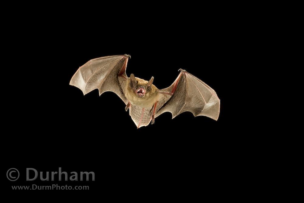 A arizona myotis (Myotis occultus) bat, in flight at night. Coconino National Forest, Arizona.