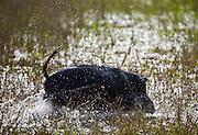 Aquidauana_MS, Brasil...Caitutu (Tayassu tajacu) da fazenda Rio Negro no Pantanal...The collared peccary (Tayassu tajacu) in the Rio Negro farm in Pantanal...Foto: JOAO MARCOS ROSA / NITRO