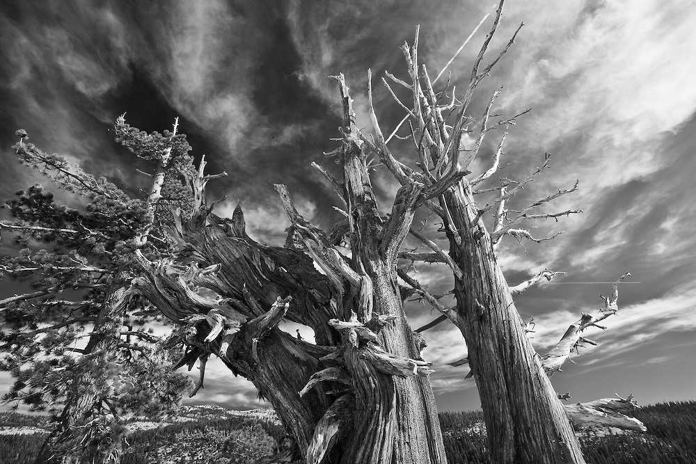 twisted weathered bristlecone pine trees in the california high sierra, yosemite national park