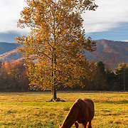 Grazing Horse Cades Cove - Great Smoky Mountains - Autumn