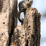This is a Japanese dwarf flying squirrel (Pteromys volans orii) that has found a comfortable place to perch, just as mid-afternoon sunlight broke through a cloud-filled sky. These animals are nocturnal, but occasionally emerge from their nests during daylight hours.