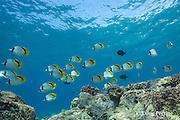 schooling lined butterflyfish or kikakapu, Chaetodon lineolatus, Kahalu'u Beach Park, Kona, Hawaii Island ( the Big Island ), Hawaii, USA ( Central Pacific Ocean )