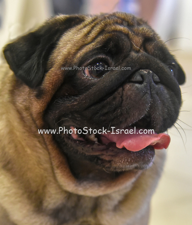 Portrait of a pug a small dog with a wrinkly, short-muzzled face, and curled tail.