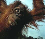 Orangutan;