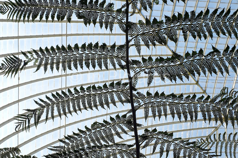 A large fern in a greenhouse at the Botanical Gardens in Sheffield, United Kingdom on 9 June 2017