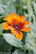 Rudbeckia hirta 'Cappucino' - September