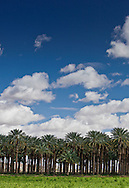 Photo Randy Vanderveen.Imperial Valley, California.20/02/10.A stand of palm date trees on a farm in the Imperial Valley in southeast California.