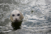 Grey Seal at Ecomare animal sanctuary, Texel, Netherlands,