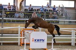 008, Melrose<br /> Nationaal Kampioenschap KWPN<br /> 3 jarige springmerries<br /> © Hippo Foto - Dirk Caremans<br />  15/08/2020