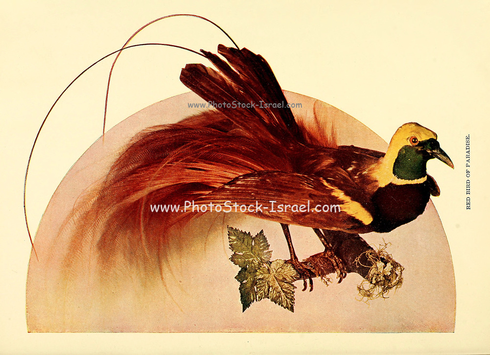Male red bird-of-paradise (Paradisaea rubra, also cendrawasih merah) From Birds : illustrated by color photography : a monthly serial. Knowledge of Bird-life Vol 1 No 1 January 1897