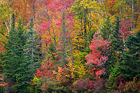 A longer focal length was used to isolate autumn foliage in this intimate forest landscape, Groton State Forest, near Marshfield, Vermont